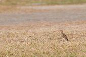 Paddyfield Pipit (anthus Novacseelandiae)