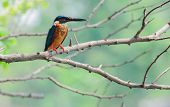 Common Kingfisher Bird (alcedo Atthis)