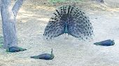 picture of female peacock  - peacock display of feathers to the female peacocks - JPG