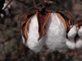 cotton bloom