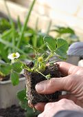 image of strawberry plant  - planted seedlings flowery strawberry held in the hand of a gardener