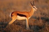 Springbok antelope (Antidorcas marsupialis) in late afternoon light, South Africa