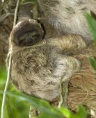 baby three toe sloth in tree, costa rica