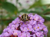A beautiful Hover-fly feeding on a purple Buddleja flower