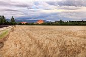 Summer Landscape With Wheat And Lavender Field In Provence, Southern France