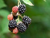 Dewberries on a shrub. Macro shot.
