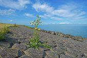 Wildflower on a dike in summer