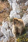 Barbary macaque in Gibraltar, UK.