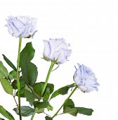 beautiful light blue roses isolated on white background