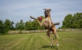 Great Dane awkwardly trying to catch red ball