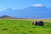 foto of kilimanjaro  - Female elephant with Mount Kilimanjaro in the background - JPG