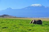 foto of kilimanjaro  - Female elephant with Mount Kilimanjaro in the background - JPG