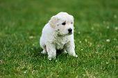 pic of swiss shepherd dog  - Baby swiss shepherd sitting on green carpet - JPG