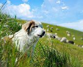 Sheepdog And Sheep