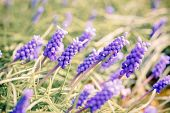 Bluebells flower (Grape Hyacinth, Muscari armeniacum)