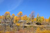 Bright Autumn trees  in Grand Tetons