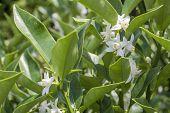 stock photo of kumquat  - White kumquat flowers and green leaves in summer - JPG