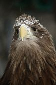 Portrait of an eagle covered with snow