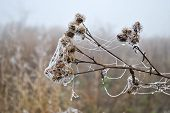 frozen withered plant