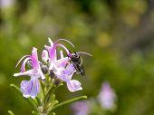 Flower Fly on Rosemary