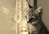 picture of baby cat  - A baby cats looks in the window pane - JPG