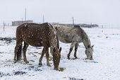 horse in snow, winter tiebet china.