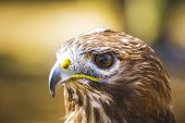 fauna, eagle, diurnal bird of prey with beautiful plumage and yellow beak
