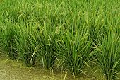 Rice field in the water