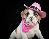 Cowgirl Bulldog Puppy