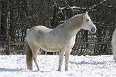 White horse in winter meadow