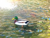 Mallard Duck Swimming Rippling Water