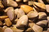Pipi Shells