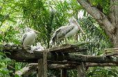 Pelican, Pelecanus Philippensis, In The Zoo