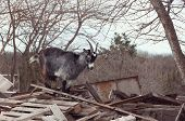Goat On A Pile Of Boards