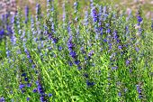 Growing English Lavender, Lavandula Angustifolia