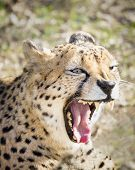 Growling Cheetah