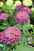 Pink Zinnia Flowers