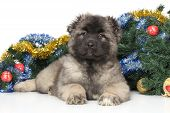picture of christmas puppy  - Central Asian Shepherd puppy on the background of decorated Christmas tree - JPG