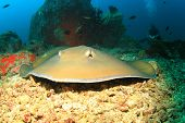 Stingray and scuba diver