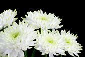Bouquet of white chrysanthemum flowers on black