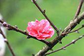 Plum flower,Flowering plum