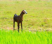 Young Brawn Nanny-goat Standing Near Green Grass