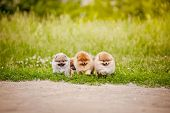 Three Small Pomeranian Puppies Walking