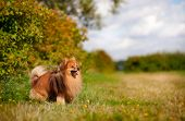 picture of pomeranian  - cute pomeranian dog standing on the field - JPG