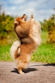 Cute Pomeranian Dog Playing