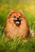 Pomeranian Dog Portrait
