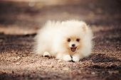 Small Pomeranian Puppy Lying
