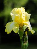 Close up of yellow bearded iris