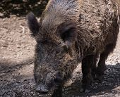 picture of boar  - Close - JPG