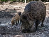 Adult wild boar